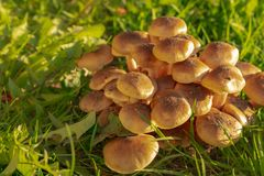 Green grass and mushrooms. Natural mushroom growing. Ecotourism activity. Gathering mushrooms. Pick up mushroom. Ripe mushroom in green grass. Ecotourism royalty free stock photography