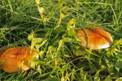 Green grass and mushrooms. Natural mushroom growing. Ecotourism activity. Gathering mushrooms. Pick up mushroom. Ripe mushroom in green grass. Ecotourism royalty free stock photos