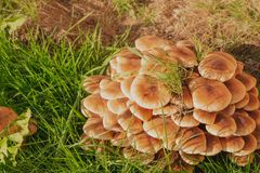 Green grass and mushrooms. Natural mushroom growing. Ecotourism activity. Gathering mushrooms. Pick up mushroom. Ripe mushroom in green grass. Ecotourism stock photo