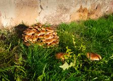 Green grass and mushrooms. Natural mushroom growing. Ecotourism activity. Gathering mushrooms. Pick up mushroom. Ripe mushroom in green grass. Ecotourism royalty free stock images