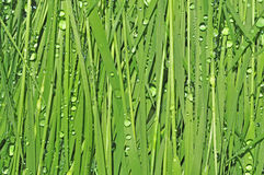 Green grass natural background. Green grass with dew water textured background Stock Photography