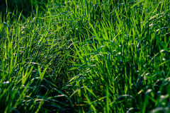 Green grass. On natural background Royalty Free Stock Photos