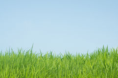 Green grass natural background. On blue sky background Stock Image