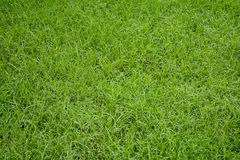 Green grass natural background. Stock Image
