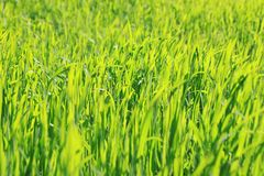 Green grass natural background texture, Lawn for the background royalty free stock photography