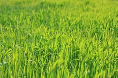 Green grass natural background texture, Lawn for the background stock images