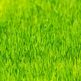 Green grass nature background. With water droplets bokeh Royalty Free Stock Photography