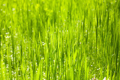 Green grass nature background closeup, daylight Stock Images