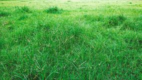 Green grass nature background. Grass field in morning stock image