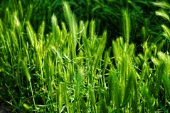 Green grass in nature Royalty Free Stock Photography