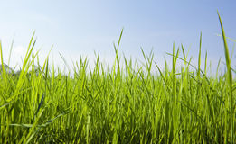 Green Grass with Nice Sky Stock Photography