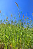 Green Grass .. Nile bank side. Green Grass .. growing wildly by the banks of the river Nile Stock Photography