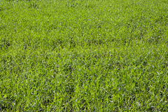 Green grass. On open filed in countryside Royalty Free Stock Image