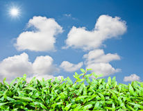 Green grass over with bluke sky. Green grass with blue sky and sun Stock Image