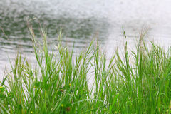 Green grass over water. Green grass reflected on the lake Stock Photos
