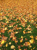 Green grass in the park full of falling yellow orange Autumn dried leaves. Soft focus of green grass in the park full of falling yellow orange Autumn dried royalty free stock image