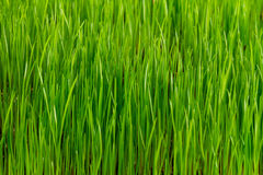 Green grass pattern Royalty Free Stock Photos