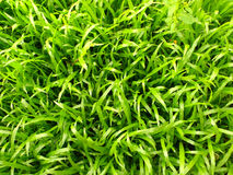 Green grass pattern Royalty Free Stock Photography