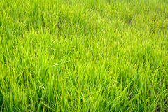 Green grass pattern background and abstract. At daylight Royalty Free Stock Photo