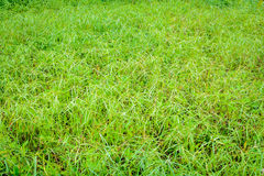 Green grass pattern background and abstract. At daylight Royalty Free Stock Photos