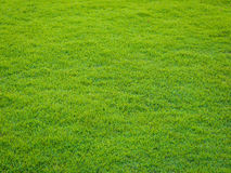 Green grass pattern from golf course at sunset tim Royalty Free Stock Images