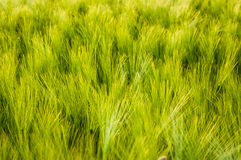 Green grass. This picture shows a lot of green grass and is well suited as a background image due to its pattern Royalty Free Stock Photo