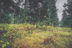 Green grass in a pine forest. In the fall Royalty Free Stock Image