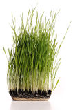 Green grass plant Royalty Free Stock Image