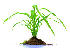 Green grass plant. Over white background Stock Photo