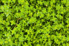 Green grass plant natural background Royalty Free Stock Image
