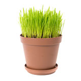 Green grass in the plant pot. Isolated on white background Royalty Free Stock Images