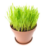 Green grass in the plant pot. Isolated on white background Royalty Free Stock Photography