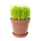 Green grass in the plant pot. Isolated on white background Stock Image
