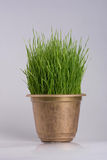 Green grass in the plant pot  on white background. Close up Stock Images