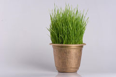 Green grass in the plant pot  on white background. Close up Royalty Free Stock Photography