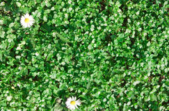 Green grass, plants with white daisies. T Stock Photo