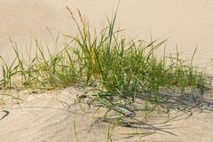 Green grass plants on the yellow sands of the beach closeups. Green grass and yellow sand. royalty free stock images