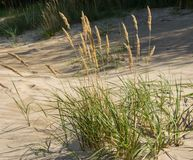 Green grass plants on the yellow sands of the beach closeups. Green grass and yellow sand. stock photography