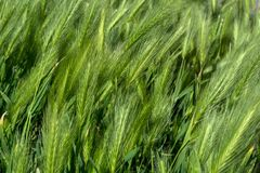 Green grass poaceae natural creative abstract texture and pattern background. Close up, selective focus Stock Photography