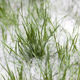 Green grass in the poplar fluff Stock Photo
