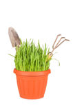 Green grass in a pot Royalty Free Stock Image