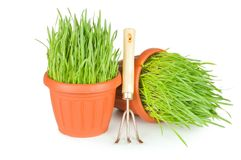 Green grass in a pot Royalty Free Stock Images