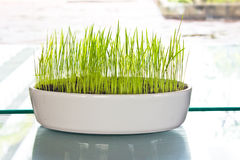 Green grass in a pot Stock Photo