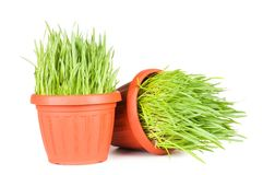 Green grass in a pot isolated on a white Royalty Free Stock Photography