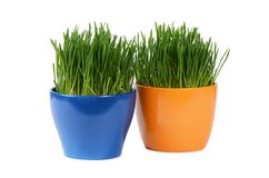 Green grass in pot isolated on white background Stock Images