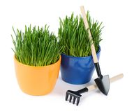 Green grass in pot isolated on white background Stock Photos