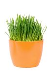 Green grass in pot isolated on white background Stock Photo