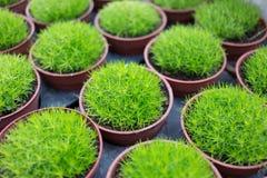 Green grass in pot Royalty Free Stock Photos