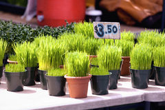 Green grass in a pot. Royalty Free Stock Image