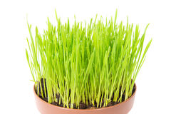 Green grass in the pot. Green wet grass with water drops in the plant pot isolated on white background Stock Images